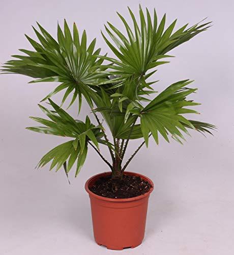 Livistona chinensis 40-45 cm Chinesische Schirmpalme Zimmerpflanze