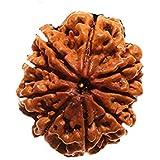 9 mukhi rudraksha Original Certified / 9 face rudraksha Original / 9 Faced rudraksha Original Nepal rudraksha Seed rudraksha Bead