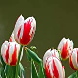 Kuerli Bulbi di Tulipano Semi di Fiori Bulb Semi di Fiori Colorati Tulipani Bonsai Hardy Perenne