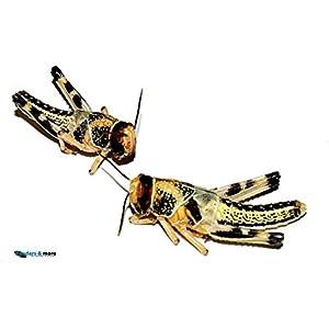 Heuschrecken 25 große adulte Wüstenheuschrecke Futterinsekten Reptilienfutter