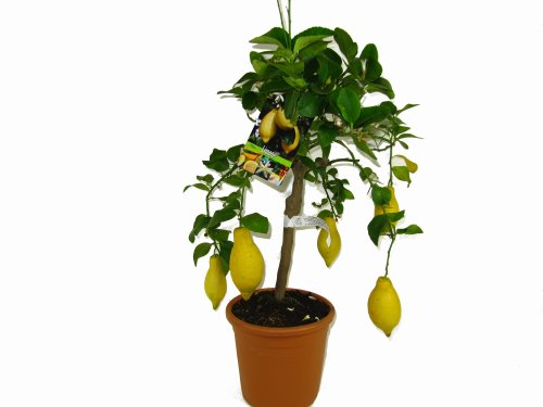 Zitronenbaum - Citrus Limon
