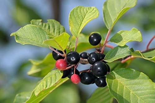 AGROBITS Faulbaum (Frangula Alnus, Rhamnus Frangula) 15 Samen