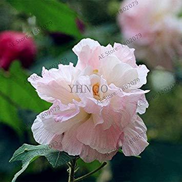 prime vista 5: 50 Teile/Beutel mischfarbe Hibiscus mutabilis blumensamen Teller Hibiscus Mehrjährige Blume für Zuhause Bonsai Garten Pflanzen 5 - Pflanzen Teller Hibiscus