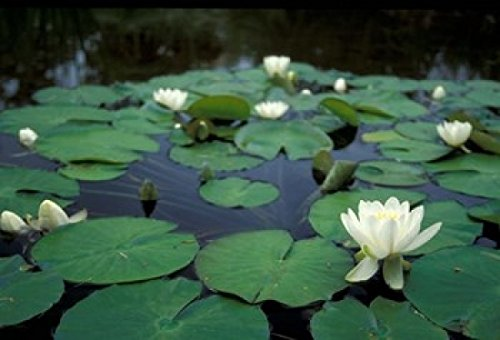 brent-bergherm-danitadelimont-white-water-lily-in-bloom-kitty-coleman-woodland-gardens-comox-valley-