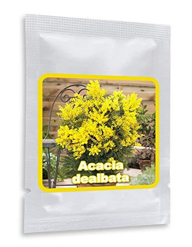 Acacia Dealbata - la mimosa fina / 25 semillas/un noble árbol mediterráneo para la casa, el jardín, la terraza y el balcón