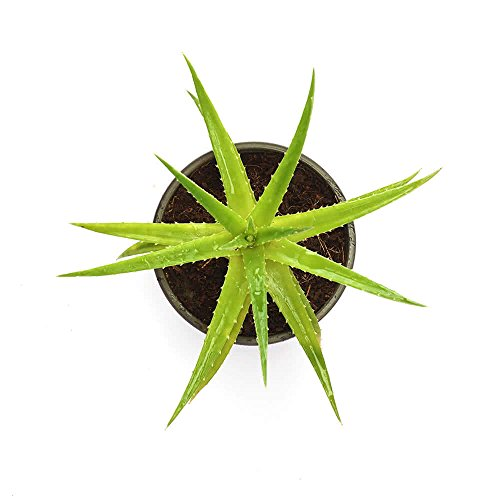Ugaoo Aloe Vera Green Mini Natural Live Plant