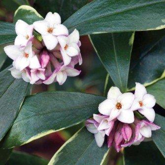 Daphne plants. Highly scented. RHS award of garden merit plant. Large 5 litre plants