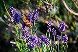 Lavendel Strauch - Lavandula Angustifolia Hidcote Blue - 30-40cm Topf Ø 18 cm - 3 Ltr.