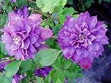 Clematis 'Proteus' - Gefüllt blühende Kletterpflanze für den Garten von