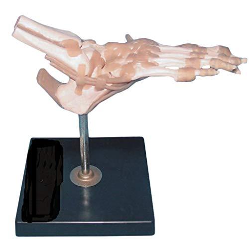 WJH Life Size Fuss-Verbindung Modell mit Bändern menschlichen anatomischen Modell Skeleton Anatomie Lehrmodellen für Wissenschaft Klassenzimmer und Study-Tool