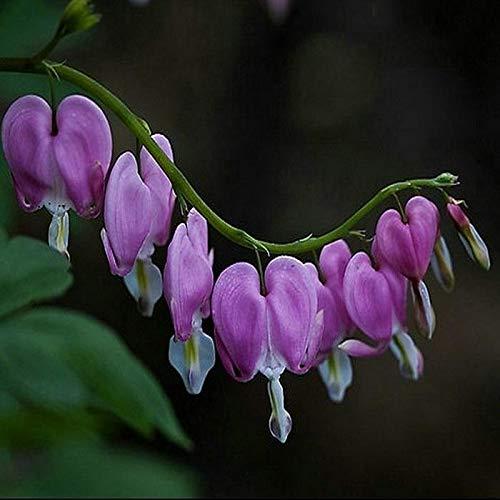 Ncient 10/Sac Semences graines de Fleur Pivoine, Fleur Parfumée Seed Plantes Bonsai en Pot Vivaces de Jardin