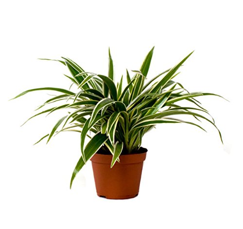 plug-plants-mix-mini-plants-spider-plant-trio-easy-care-collection-houseplant-starter-set-ideal-gift