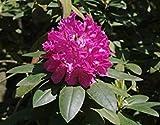 Rhododendron catawbiense rododendro Catawba semi!