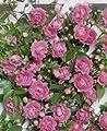 Rambler-/Kletterrose 'Super Dorothy' -R- im 4 L Container von Rosen-Union - Du und dein Garten