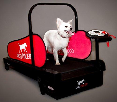 Domestic dogpacer de mascota Perro cinta de correr interacción
