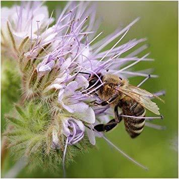 FERRY Keim Seeds: Paket von 100 Samen, Lacy Phacelia Samen (Phacelia tanacetifolia) (Lacy Phacelia Samen)