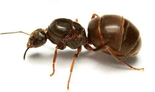 lasius-niger-knigin-mit-brut-insekten-ameisen-fr-ameisenfarm