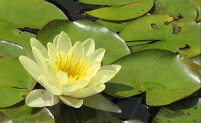 eine gelbblühende Zwergseerose für den Teich, Teichpflanzen, Wasserpflanzen von aquariumpflanzen.net bei Du und dein Garten