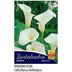 Bulbos de Flor varias especias y colores de sobre, calla bianca aethiopica