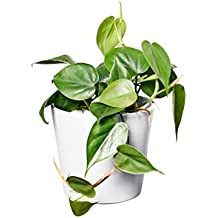 EVRGREEN Baumfreund | | Zimmerpflanze in Hydrokultur | im Set inkl. Keramiktopf (weiß) | philodendron scandens