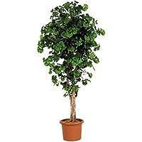 Hoch 150cm Baum-Möbel Innenraum mit Stamm echter Liana Ficus Benjamin vielfarbig
