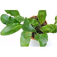 Elaphoglossum glaucum - - 10 semillas