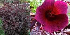 Roter Hibiskus 10 Samen (Hibiscus acetosella) Hibiscus Red Shield