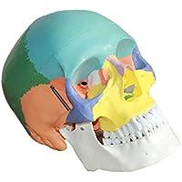 Sharplace Tamaño 1: 1 Modelo de Anatómico Cráneo Humano Multicolor Herramienta de Enseñanza