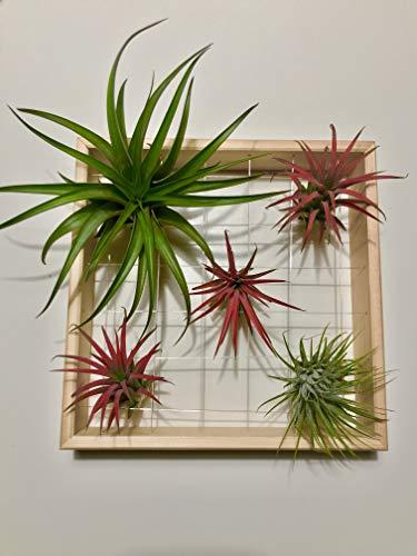 theframe 20 Cadre pour plantes aériennes (Tillandsia) entièrement en bois. Pour fille et peint à la main. Fabriqué en Italie. Bois naturel