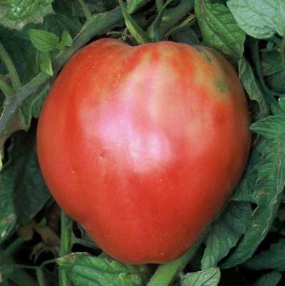 30 graines de coeur hongrois - Tomates Oxhearts