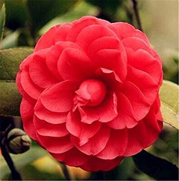 10 semi di camelia molti colori tè grandi fiori sempreverdi cespuglio fai da te in casa dei bonsai del fiore in vaso da giardino perenne pianta facile da coltivare