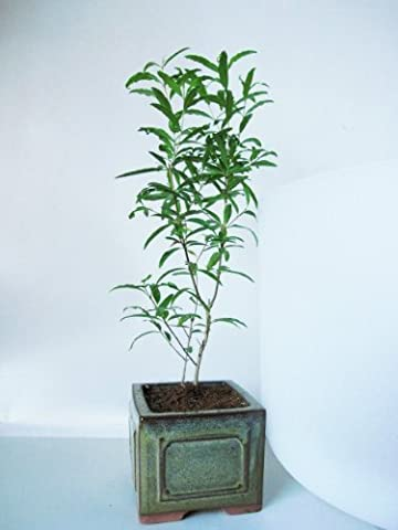 9GreenBox - Dwarf Pomegranate Mame Bonsai Great Fruiting Plant With