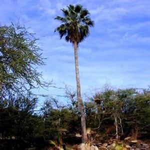 Tropicaflore - Washingtonia robusta (Palmier éventail) - Pot de 2 litres - 30/50 cm