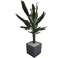 Dominik Blumen und Pflanzen, Zimmerpflanzen Drachenbaum Dracena Fragans im 12 cm Topf, 30 cm hoch mit Scheurich Würfelumtopf circa 14 x 14 x 14 cm, anthrazit / stone / grün