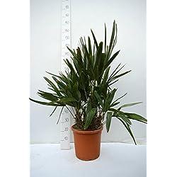 Rhapidophyllum hystrix - Nadelpalme - RARITÄT - extrem Frosthart - verschiedene Größen (100-120cm - multitrunk - Ø 32cm)