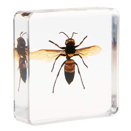 Homyl Echte Insekt Probe Briefbeschwerer Taxidermie Exemplar Sammlung - Heuschrecke/ Zitrusbockkäfer/ Tintenfische/ Wespe/ Taranteln/ Hundertfüßer - Wespe