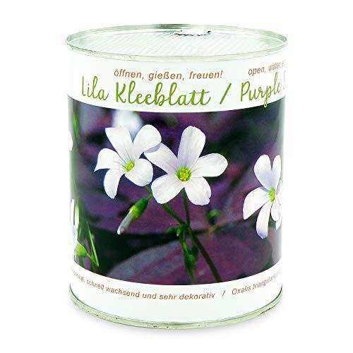 Lila Klee - Triangularis - Purple Butterflies in a Sky Blue Bowl - 5 Blumenzwiebeln