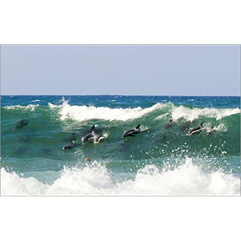 Stampa su acrilico 50 x 30 cm: Pod of dolphins surfing a wave in South Africa di Paul Kennedy - Surfing Dolphins
