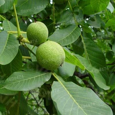 Casavidas 100pcs / bag Der Pecan Bonsai Walnut Tree Garten Obst Pflanze Gesunde Nüsse Jahresergebnis Amerikaner: Gelb