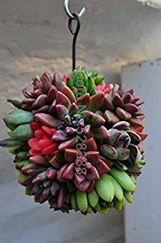 Bonsai 100 Stück/Packung Echt Mini Sukkulente Kaktus Seltene Staude Pflanzen Bonsai Topfblumen Indoor-Anlage für Home: 19