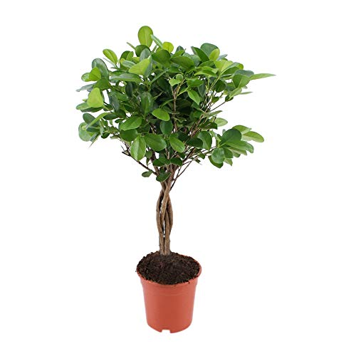 BOTANICLY | Plantas naturales - ficus | Altura: 70