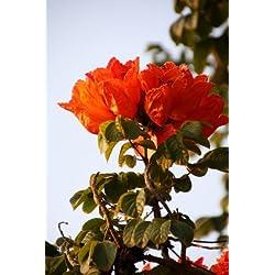 Afrikanischer Tulpenbaum Spathodea campanulata 10 Samen