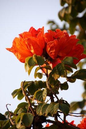 Afrikanischer Tulpenbaum Spathodea campanulata 100 Samen