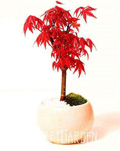 20pcs-plumas-de-arce-semilla-semillas-bonsai-el-florecimiento-de-90-semillas-de-arboles-fqvf45