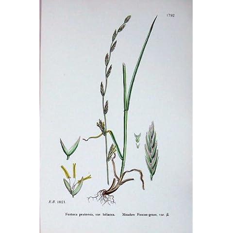 La Botanica Pianta il Colore del Festuca dell'Erba della Festuca Dei Prati C1902