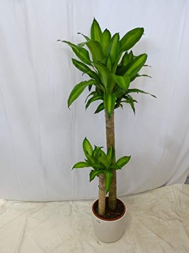 [Palmenlager] - Dracaena massangeana 150 cm - Drachenbaum - 2er Tuff // Zimmerpflanze