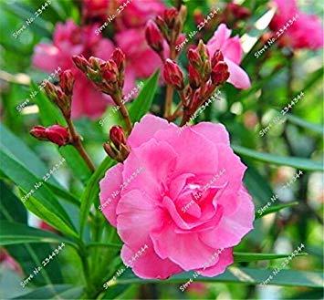 130pcs / bag rares Oleander Graines Multicolor Blooming Tropical Bonsai Fleur Arbre en pot pour plantes d'ornement Décor de jardin