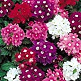 Fiore - Kings Semi - Confezione Multicolore - Verbena - Mammuth Hybrids Mix