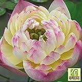 Liveseeds - Ciotola di loto / acqua giglio fiore / bonsai Lotus / stagni / 5 Fresh semi / Rosa e giallo / Due-Colori / Filippine oro