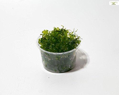 Süßwassertang - Lomariopsis lineata - Aquarienmoos - Algenhemmend - Garnelio Portion